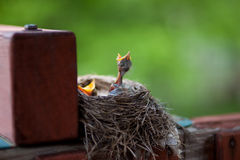 Baby robins in nest with mouths open. Newly hatched baby robins with mouths open waiting to be fed Stock Image