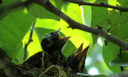 Baby Robins in Nest Royalty Free Stock Photo