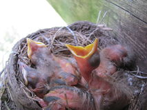 Baby robins. Newborn baby robins still in their nest waiting for mother to return with food Royalty Free Stock Image