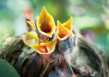 Baby robins open beaks Stock Photography