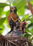 Baby robins open beaks. Hungry baby robins open beaks Stock Photos