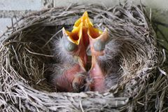 Baby Robins. There is nothing more interesting than watching the baby birds grow until they leave the nest Royalty Free Stock Photography
