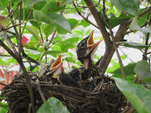 Baby Robins Stock Images