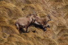 Baby Rock Goats Royalty Free Stock Images