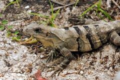 Baby rock iguana. Wilde baby rock iguana Cyclura in the Isla Mujeres `Women Island`. Cyclura is a genus of lizards in the family Iguanidae. Member species of royalty free stock photos