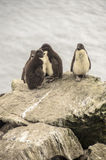 BABY ROCKHOPPER PENGUINS Royalty Free Stock Image
