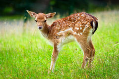 Baby roe deer. Young roe deer on the meadow Stock Photography