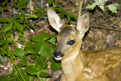 Baby roe deer (Capreolus capreolus). A very young roe deer (Capreolus capreolus royalty free stock image