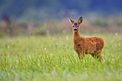 Baby roe deer in a clearing Royalty Free Stock Images