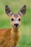 Baby roe deer on summer meadow Stock Photo