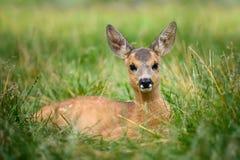 Baby roe deer on summer meadow Royalty Free Stock Photos