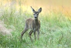 Baby roe deer Royalty Free Stock Photography