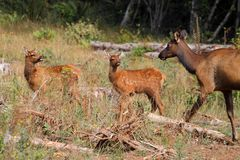 Baby Roosevelt Elk Stock Photography