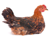 Baby rooster Royalty Free Stock Photos