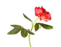 Baby rose Stock Photos