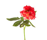 Baby rose Royalty Free Stock Image