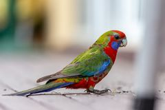 A baby Rosella parrot eating seed in Lithgow New South Wales Australia on 15th June 2018 royalty free stock images
