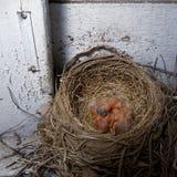 Baby-Rotkehlchen im Nest Lizenzfreie Stockfotos