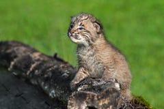 Baby-Rotluchs (Luchs rufus) schaut oben vom Klotz Lizenzfreie Stockbilder