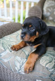 Baby Rottweiler. A baby rottweiler relaxing on a chair Stock Photo