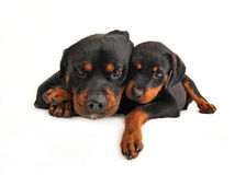 Baby rottweiler and his mother dog Stock Images