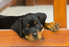 Baby Rottweiler puppy. Cute baby Rottweiler puppy taking a rest stock image