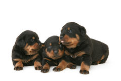 Baby Rottweilers Stock Images