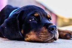 Baby Rottweiller skateboard. Rottweiller puppy Photos by me Stock Photo