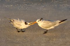 Baby Royal Tern Begging for Food in Morning Light Stock Images