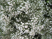 Baby's breath Royalty Free Stock Image