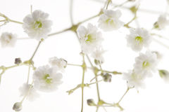 Baby's Breath Stock Photography