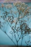 Baby's Breath Blue and Lavender Stock Photography