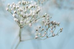 Baby's Breath Close up White with Blue Background Royalty Free Stock Images