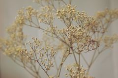 Baby's Breath Earth Tones Royalty Free Stock Photos