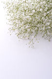 Baby's breath flowers Stock Image