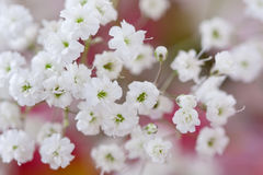 Baby's breath flowers (gypsophila) Stock Image