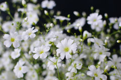 Baby's breath flowers Royalty Free Stock Images
