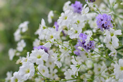 Baby's breath flowers and lavender Royalty Free Stock Photos