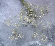 Baby`s breath Gypsophila paniculata stock photo