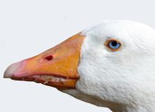 Baby's got blue eyes. A simply image of a duck, I loved its eye Royalty Free Stock Images
