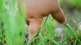 The baby`s hand stretches to the grass close-up in the summer. Exploring activity macro. The baby`s hand stretches to the grass close-up in the summer. Exploring stock footage