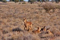 Baby sable antelope Stock Photos