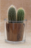 Baby saguaro cactus in a pot. Stock Photos
