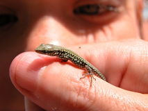 A baby Salamander Stock Photography