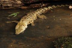 Baby Saltwater Crocodile - Crocodylus porosus. A young Saltwater Crocodile - Crocodylus porosus Stock Photography