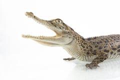 A baby Saltwater crocodile Crocodylus porosus stock photography