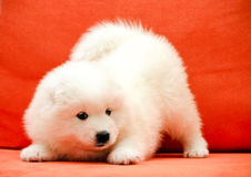Baby Samoyed Stock Images