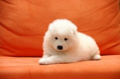 Baby Samoyed smiling angle Royalty Free Stock Photography