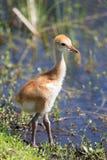 Baby Sand Hill Crane at Viera Wetlands Florida. A Baby Sand Hill Crane walking at Viera Wetlands Florida Royalty Free Stock Photos