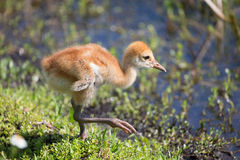 Baby Sand Hill Crane at Viera Wetlands Florida Stock Photo
